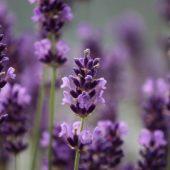 Lavendel pflanzen pflegen