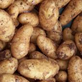 Saatkartoffeln richtig setzen
